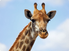 Доставка жирафа